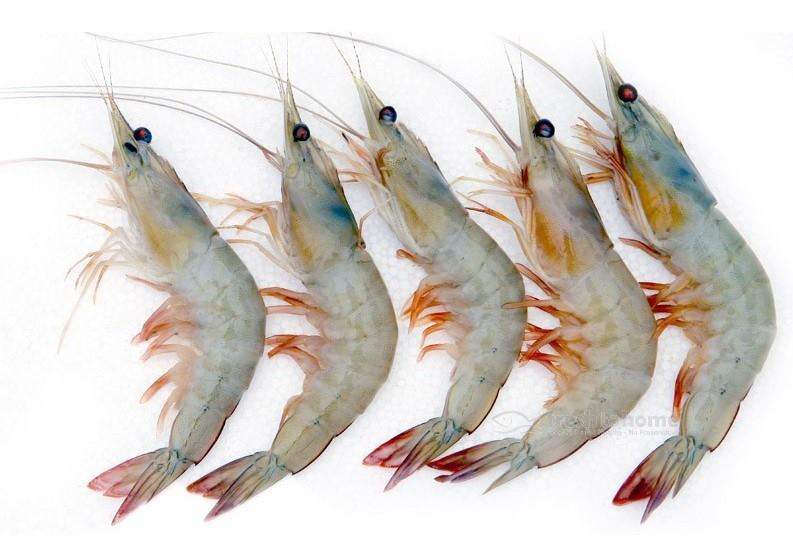 Large Indian White Prawn : Naaran