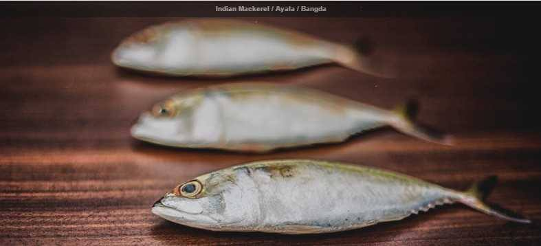 Indian Mackerel : Ayala : Bangda